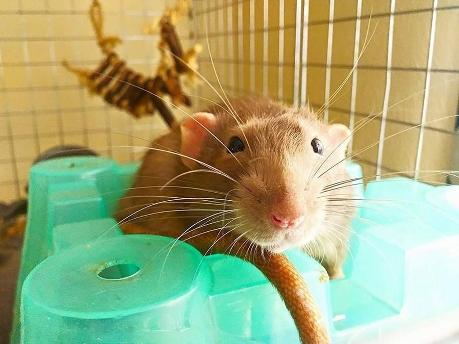 Any rat fans?. .. Rats and mice beat any pet Any rat fans? Rats and mice beat any pet