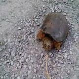 Aggressiv turtle