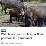 Wild boars overrun Islamic State position, kill 3 militants