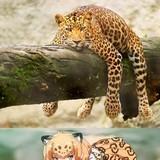 Jaguar Chilling
