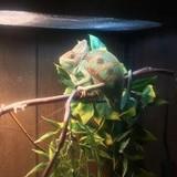 Help Name My New Chameleon, FJ