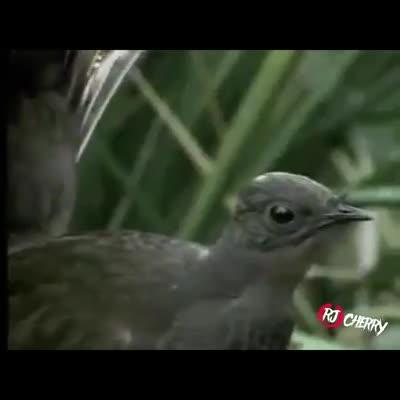 NOOT NOOT. .. bird