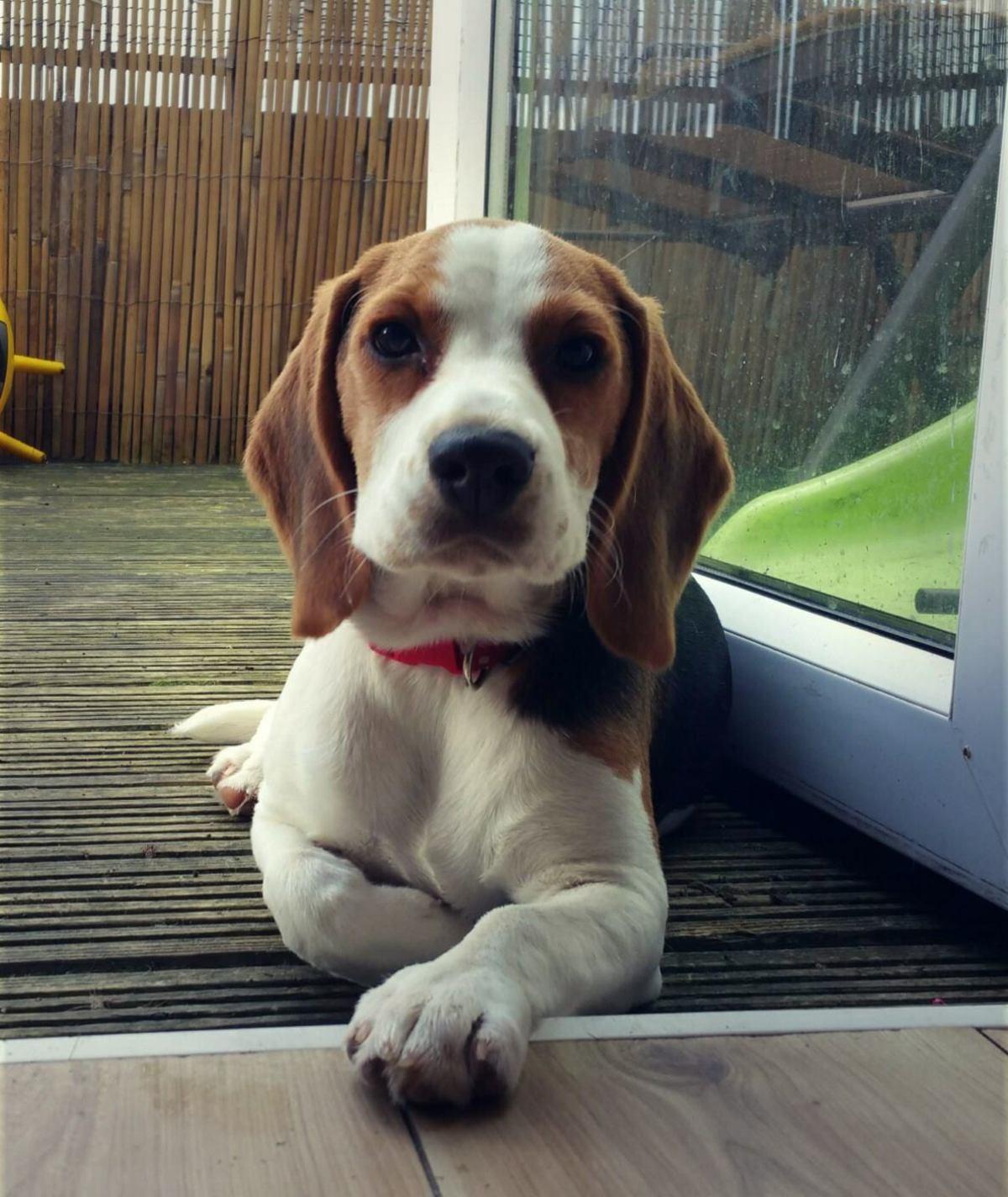 "I'm sitting at my favorite spot and I do my best, being cute !. . III- r Lil I III. I III. Til"" III Puppy aww beagle Cute doggo Dog"