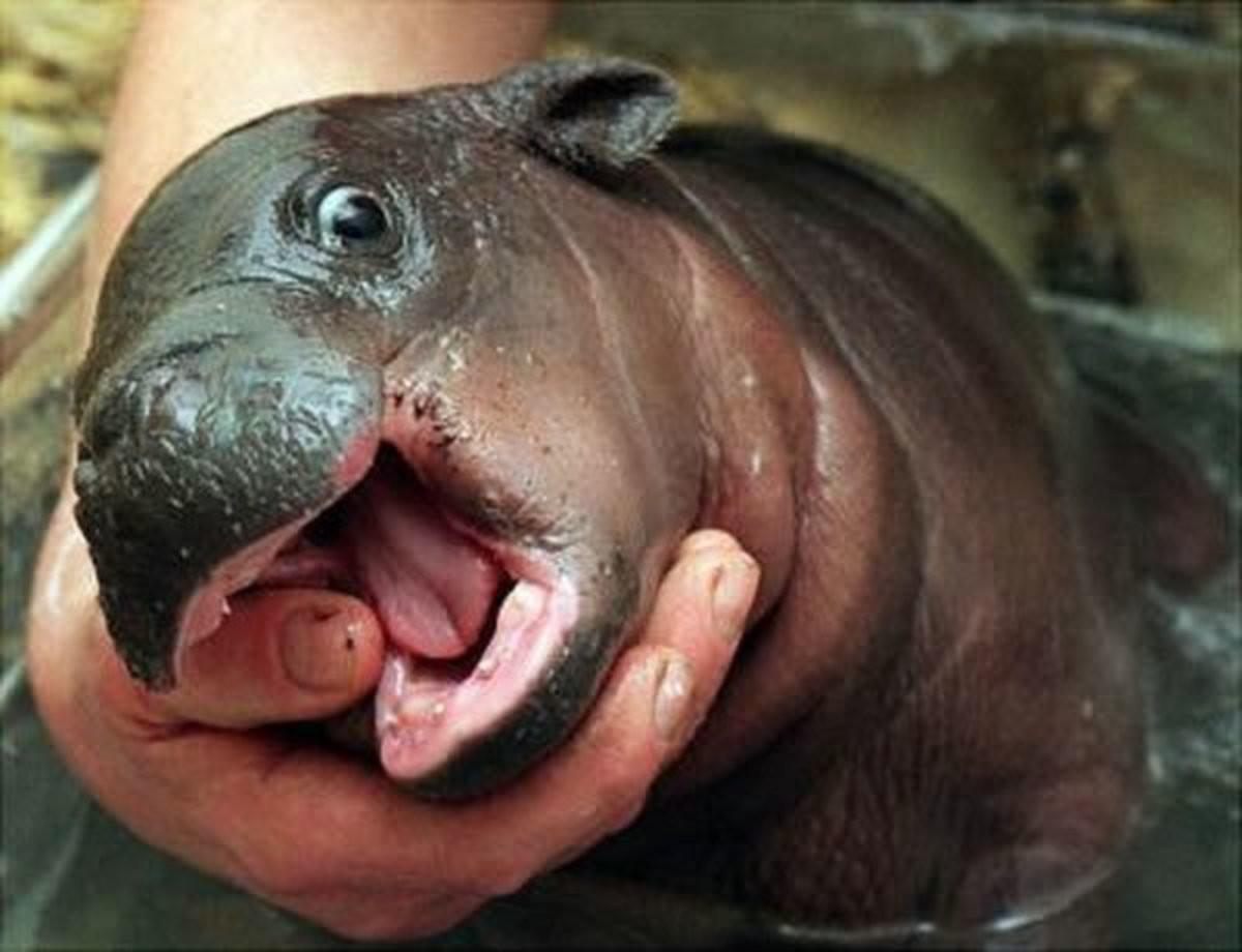 Lil potato. .. Lil' popota Pygmy Hippo comp Cute lil potato