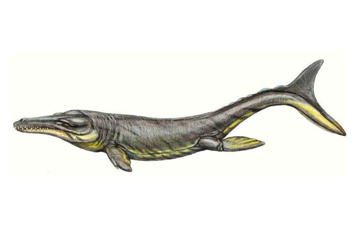 marine croc. Name: Plesiosuchus (Near crocodile). Phonetic: Ples-e-oh-soo-kus. Named By: Richard Owen - 1884. Synonyms: Steneosaurus manselii. Classific marine croc Name: Plesiosuchus (Near crocodile) Phonetic: Ples-e-oh-soo-kus Named By: Richard Owen - 1884 Synonyms: Steneosaurus manselii Classific
